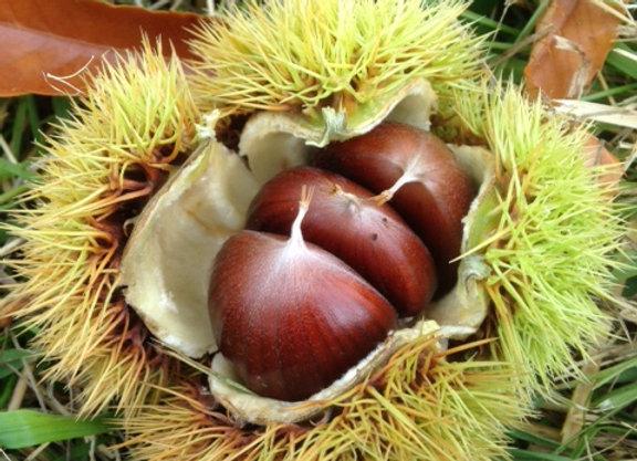 Mixed Chestnuts 1 lb.