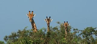 Hidden giraffes watching