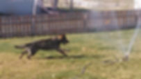 Czech German Shepherd purebred AKC puppies for sale dogs working