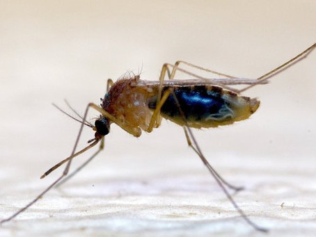 Le grand retour de la dengue aux Antilles