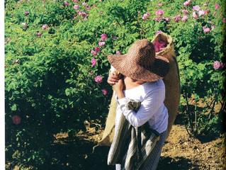 NEZ : Rose centifolia