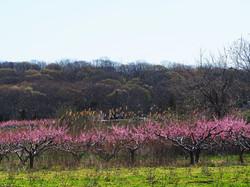 Peach trees, New Suffolk NY
