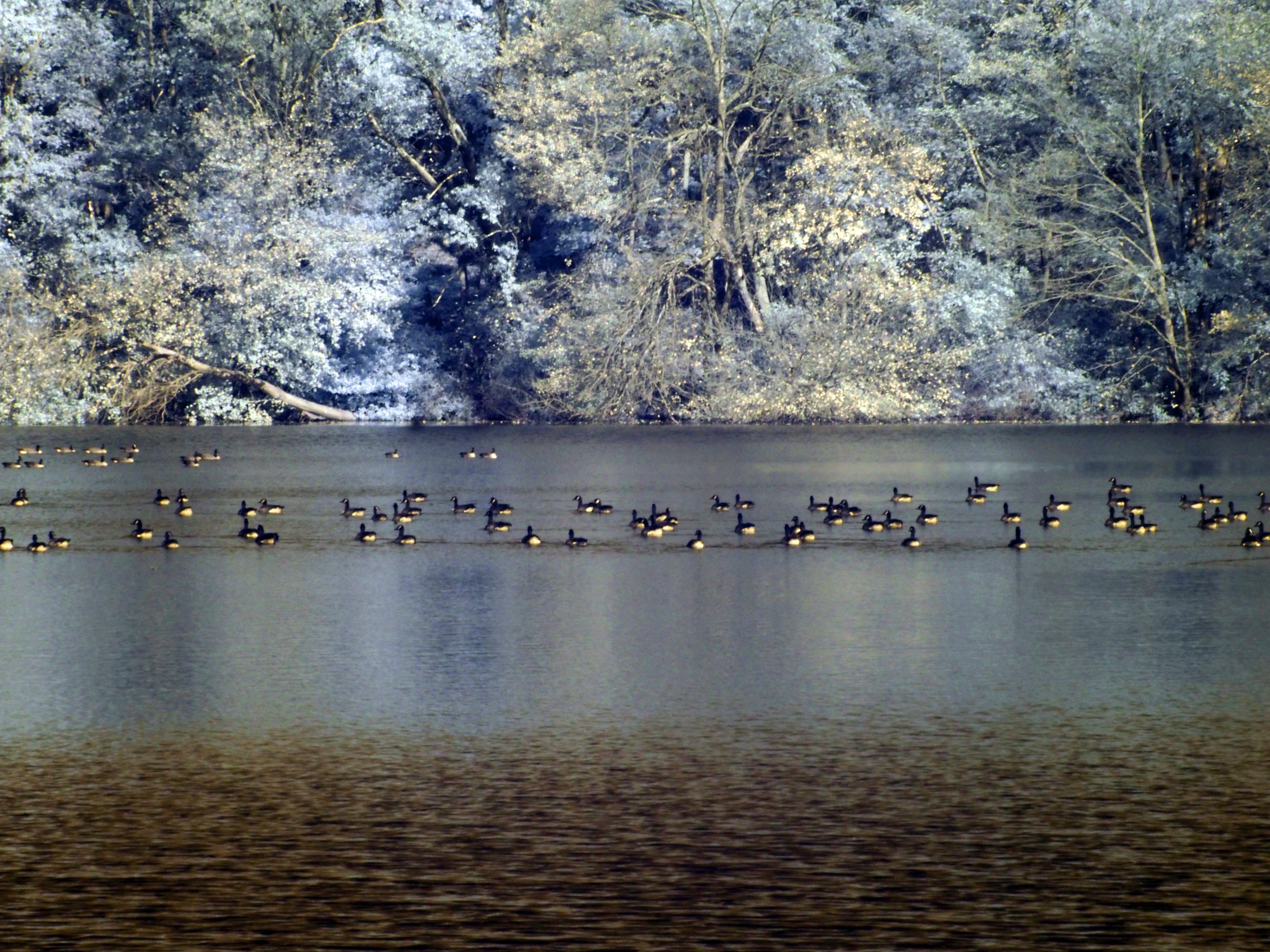 Canada geese, Mattituck NY
