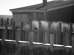 Black cat, New Suffolk NY.