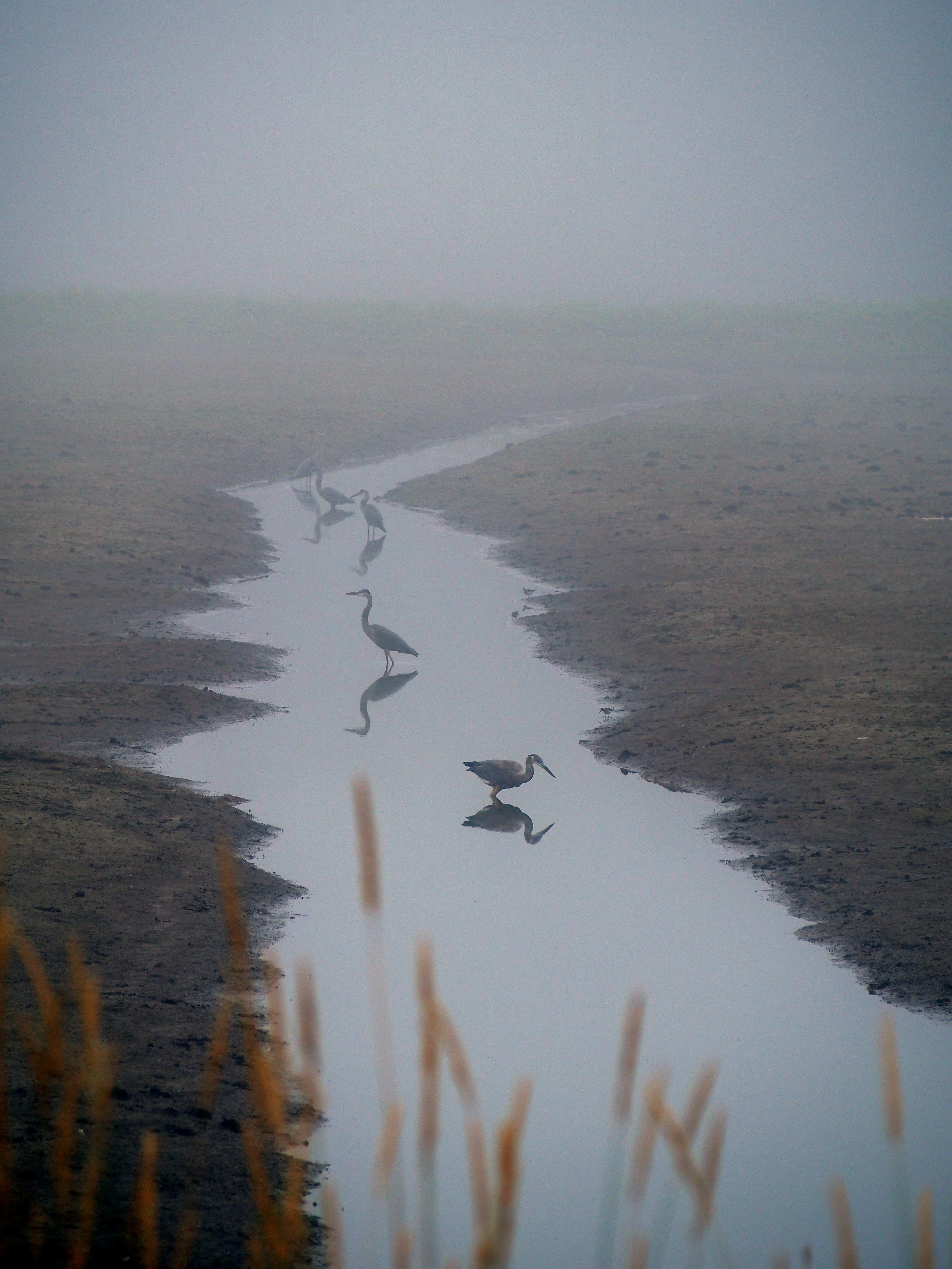 Egrets, Margaretsville NS