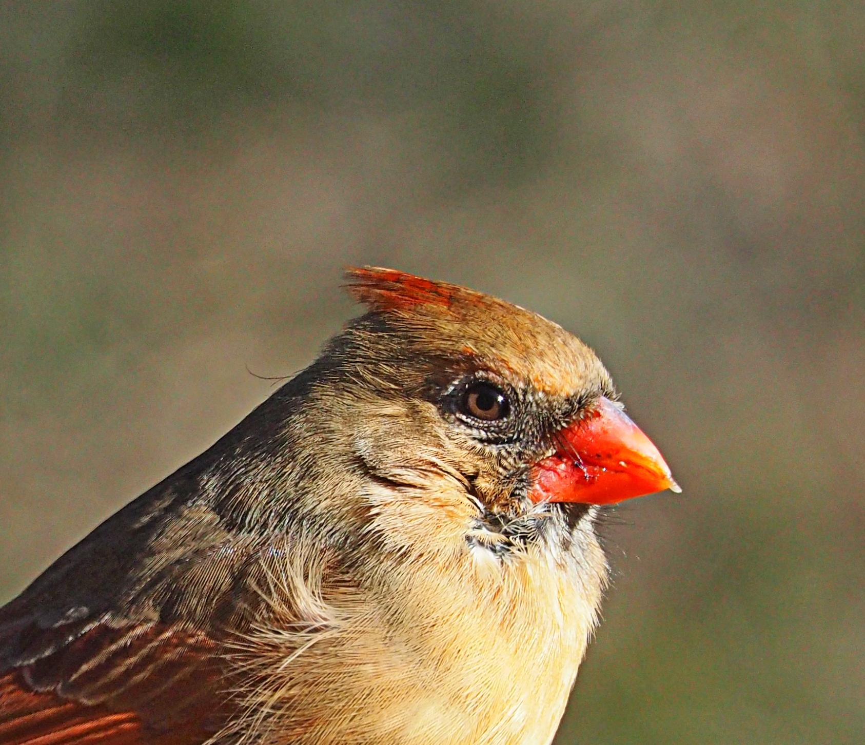 Female cardinal up close