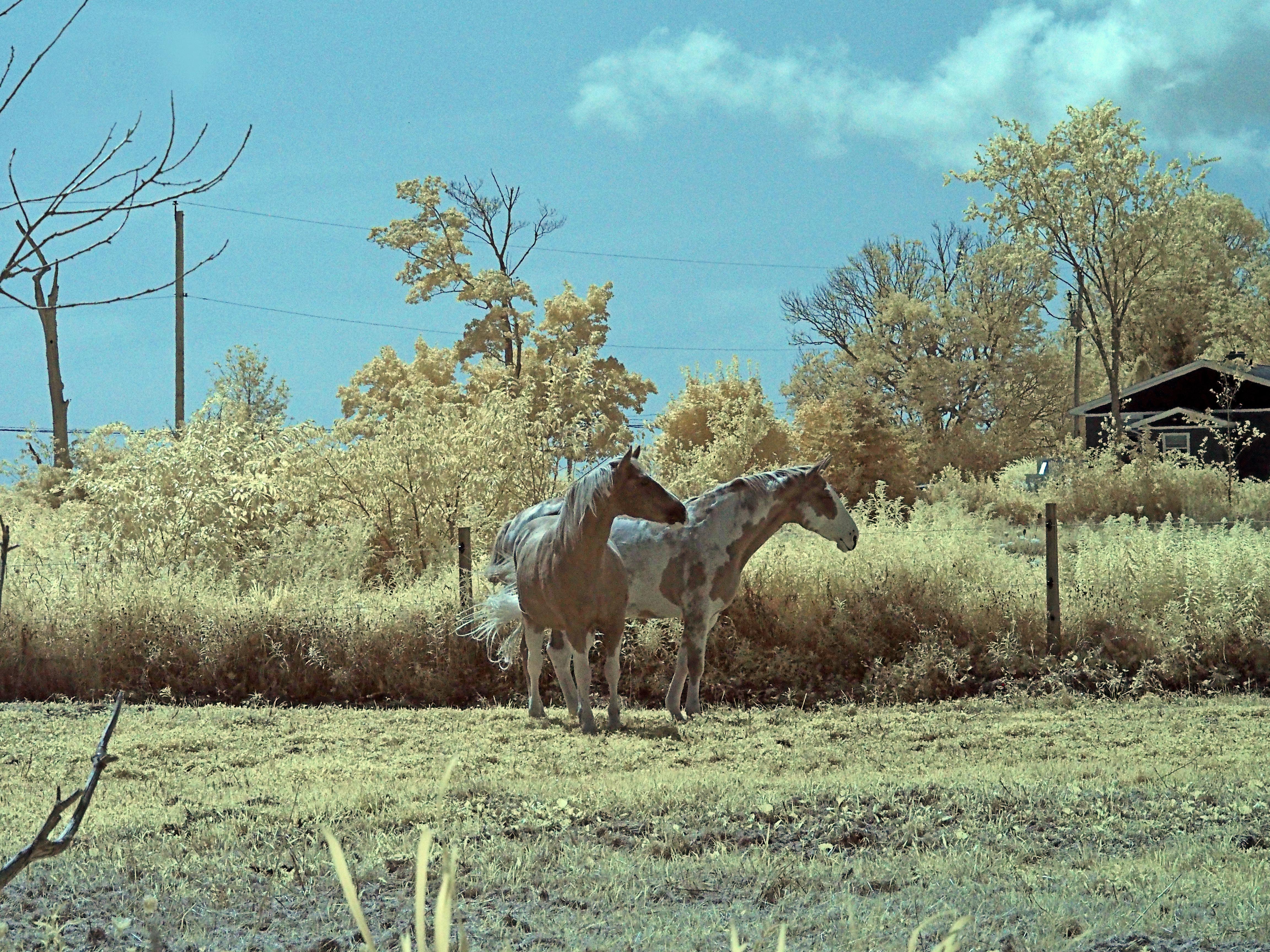Paint horses listening