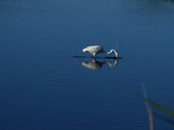 Great egret, fishing