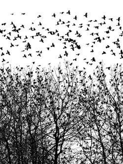 Starlings, Riverhead.