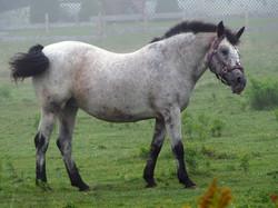 Gray pony.