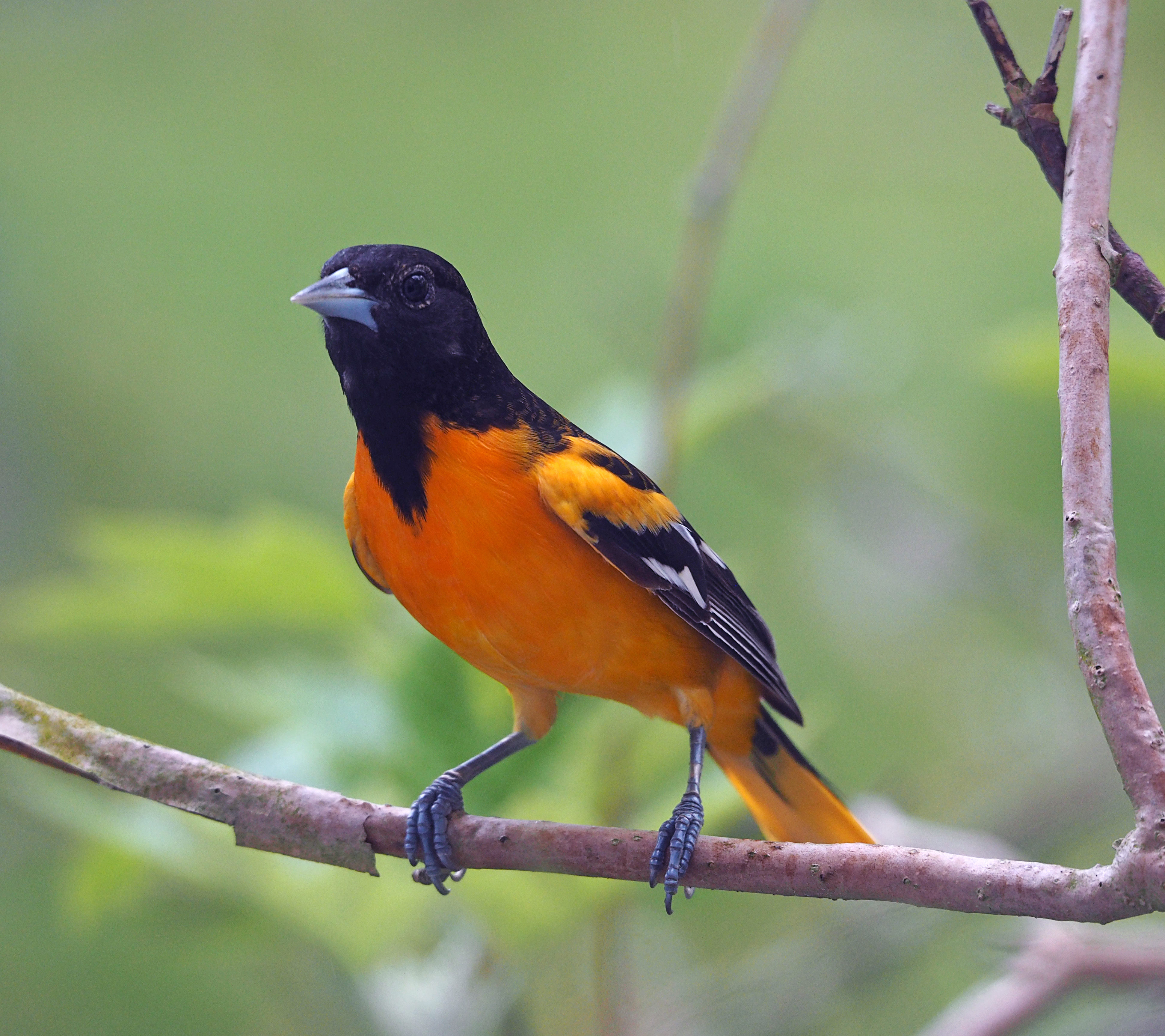 Male northern oriole