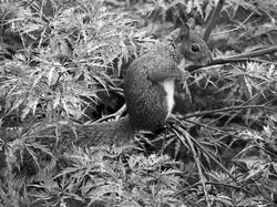 Gray squirrel.
