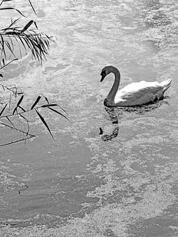 Mute swan, Mastic NY