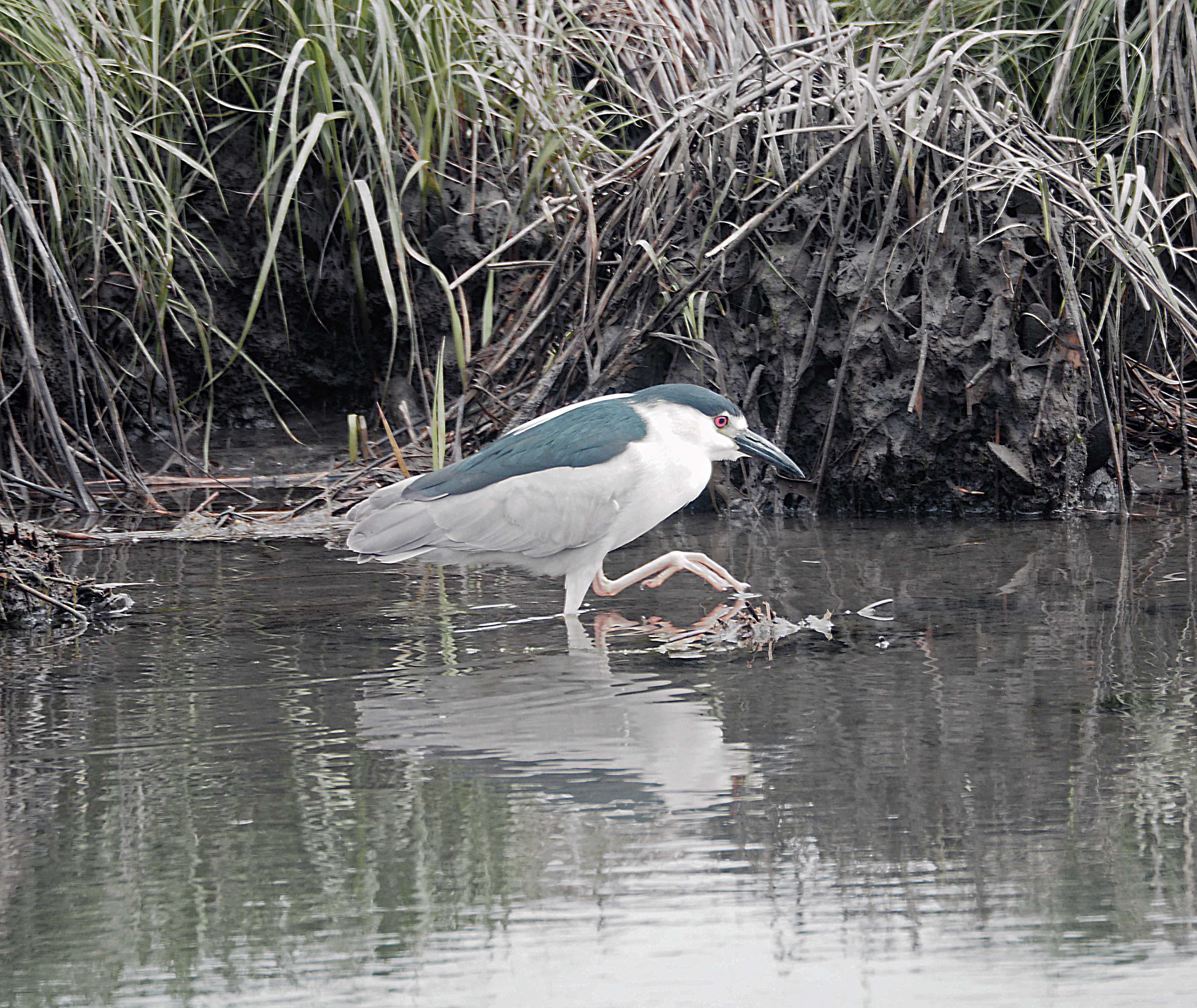 Black-backed night heron