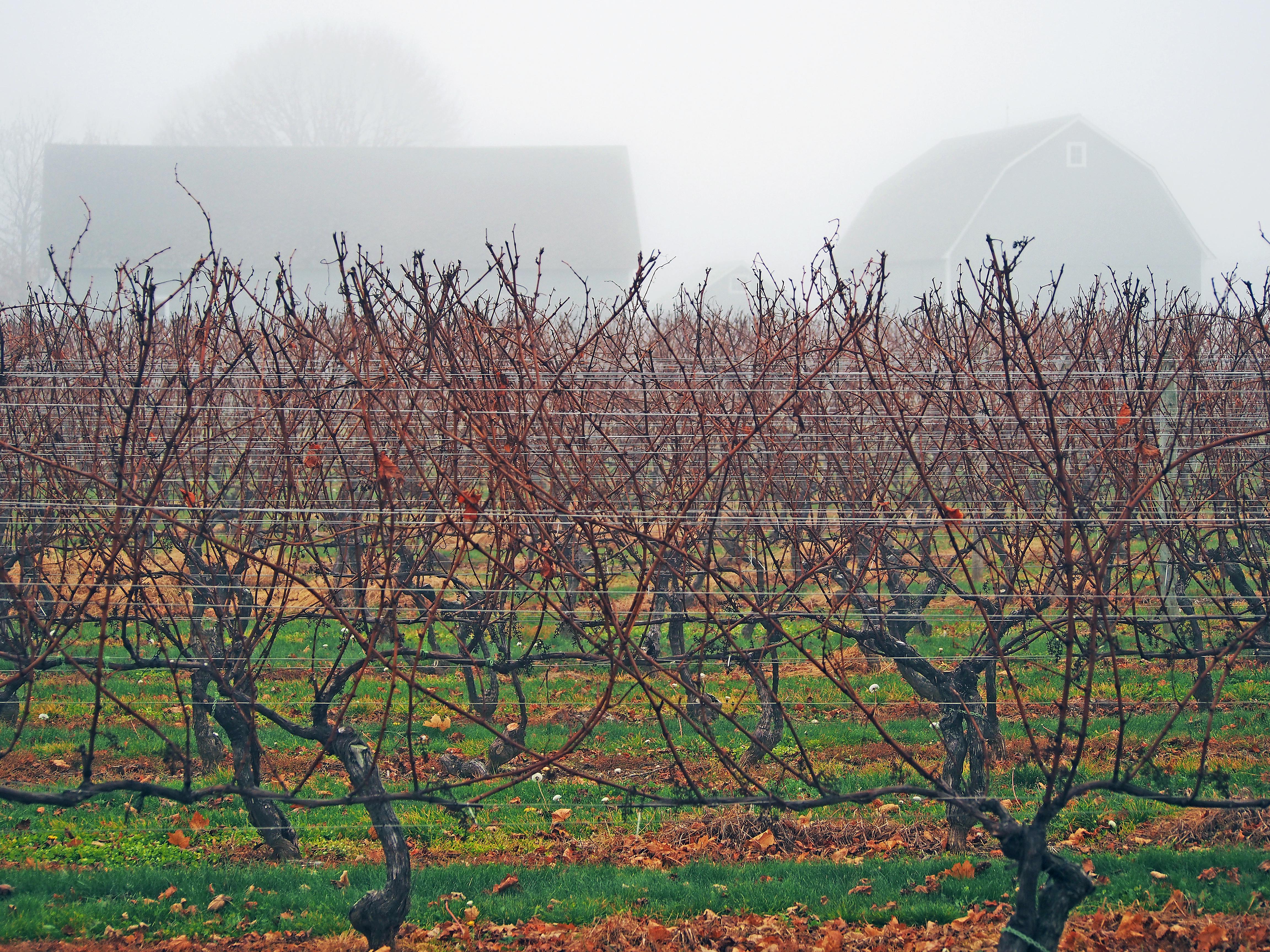 Pruned vines, North Fork NY