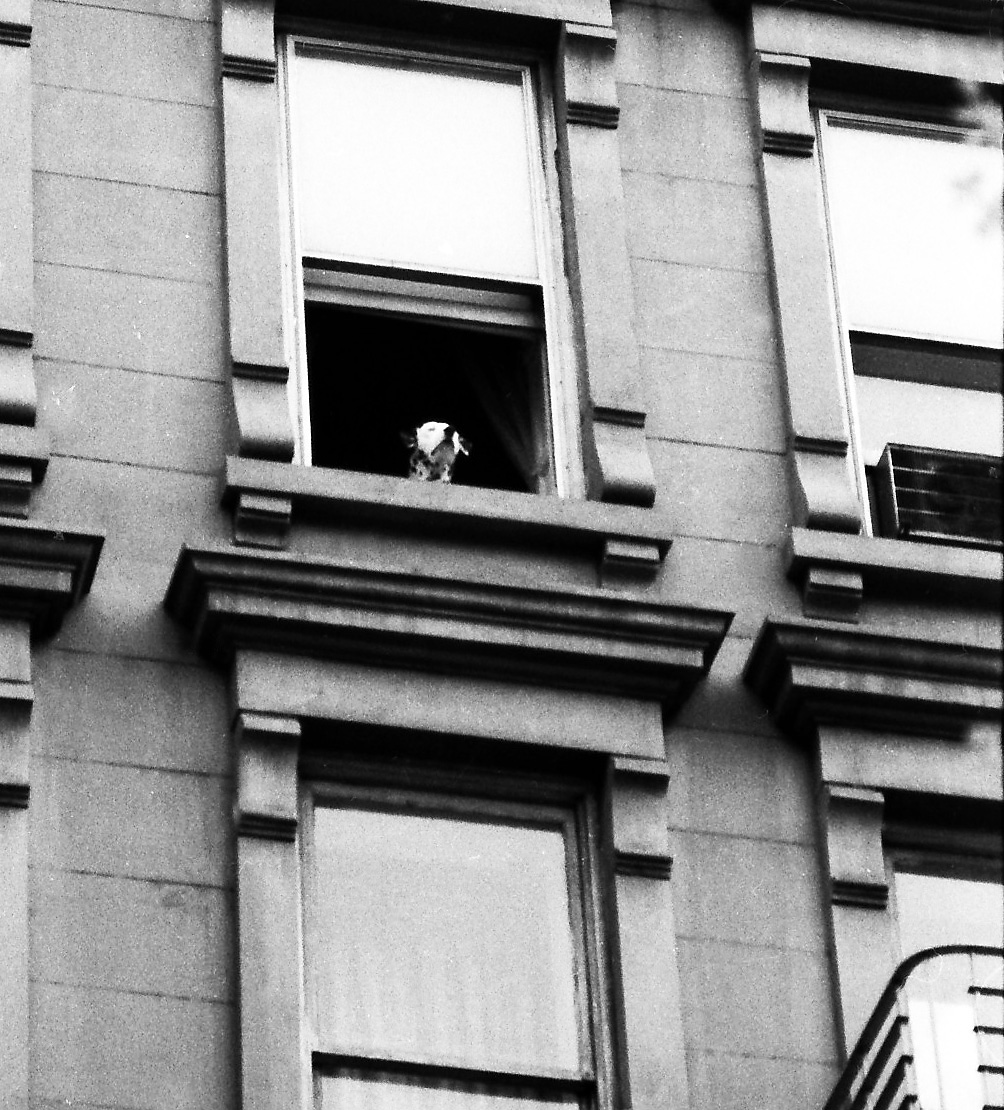 NYC47 Dalmatian, East 80s