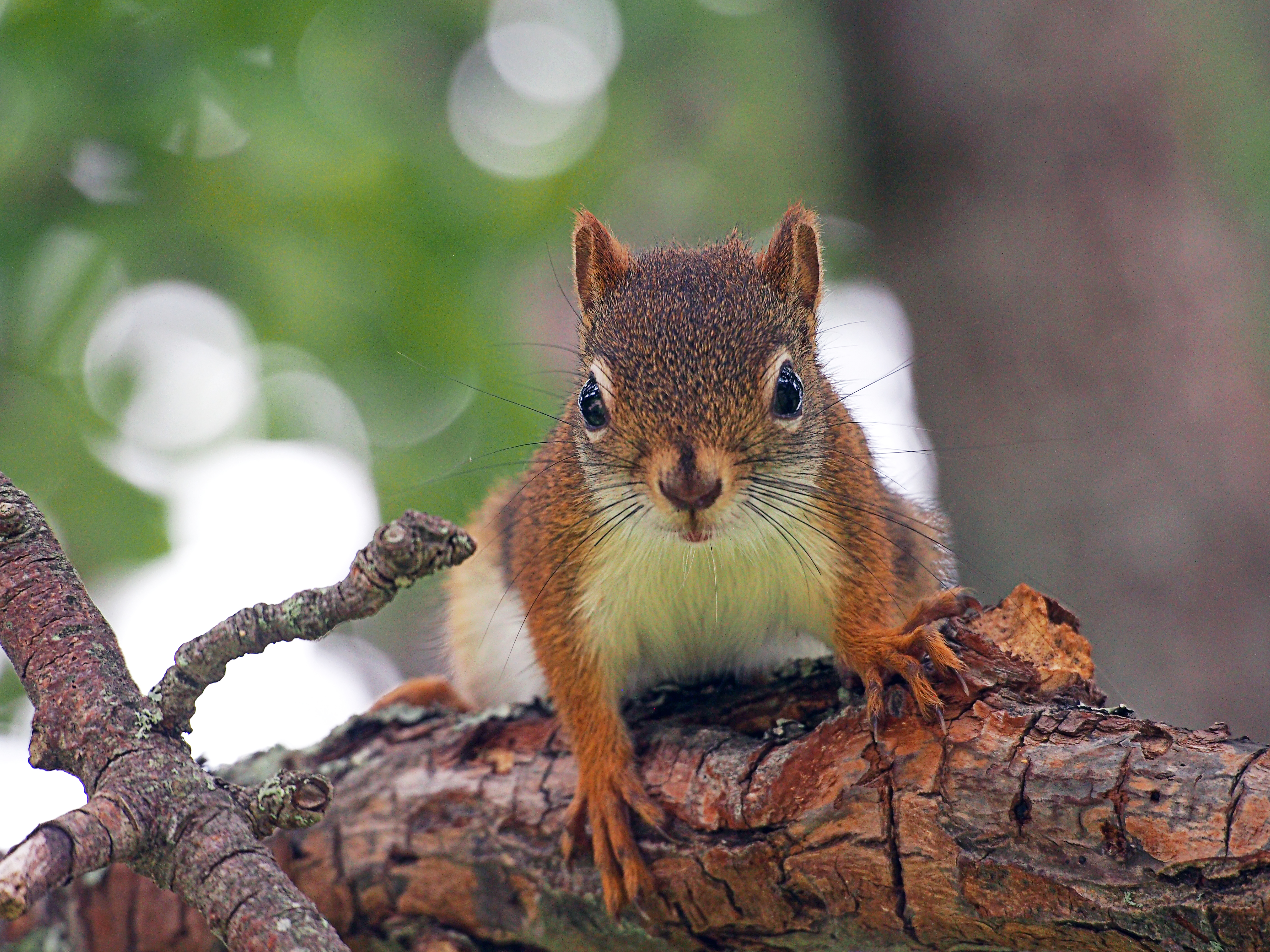 Red squirrel with attitude