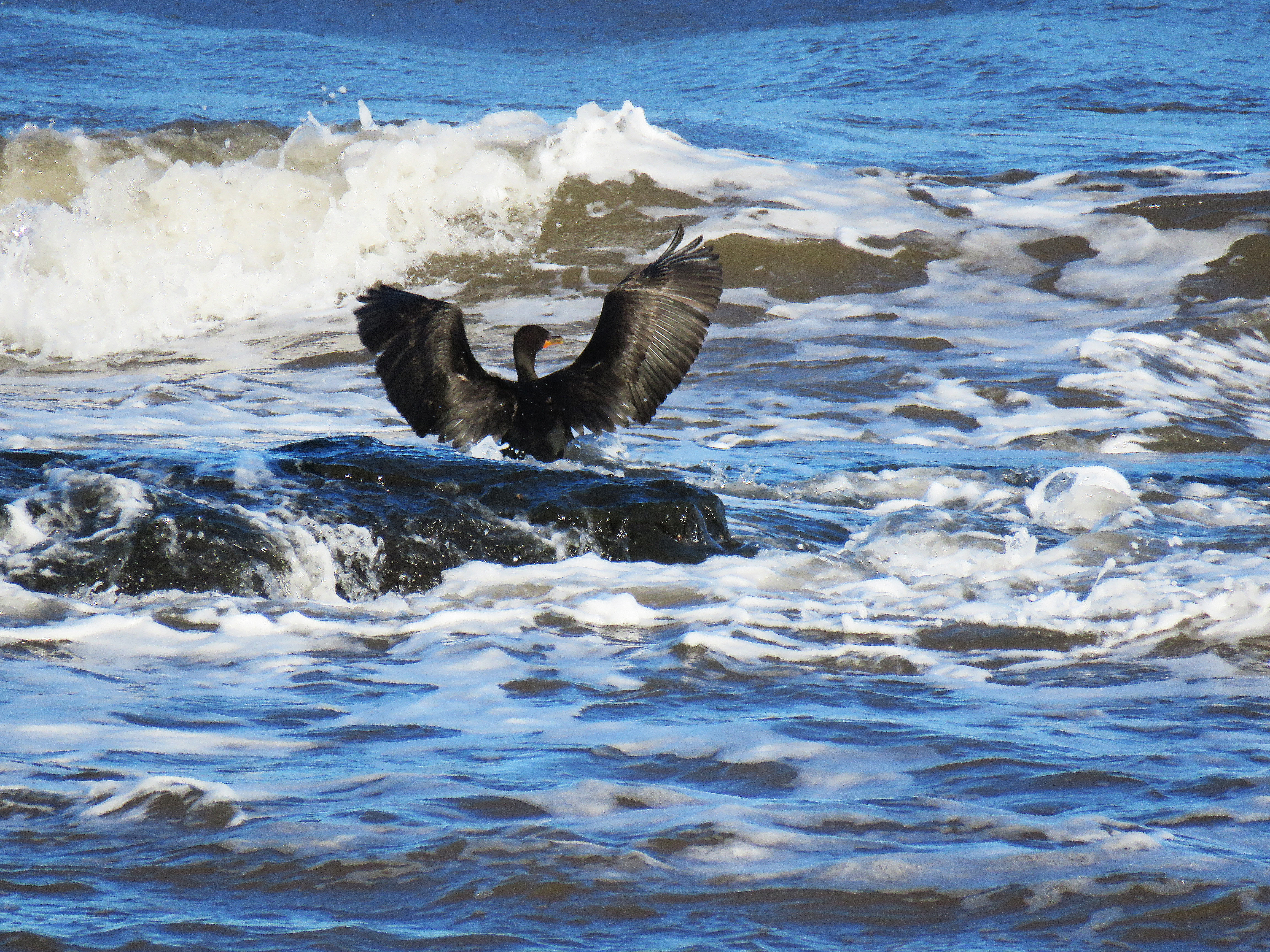 Cormorant in waves