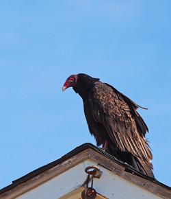 Turkey vulture warming up