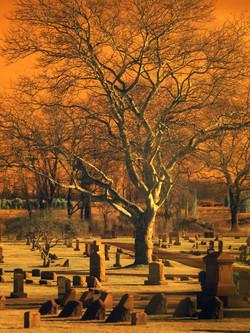 Oak tree, North For NY