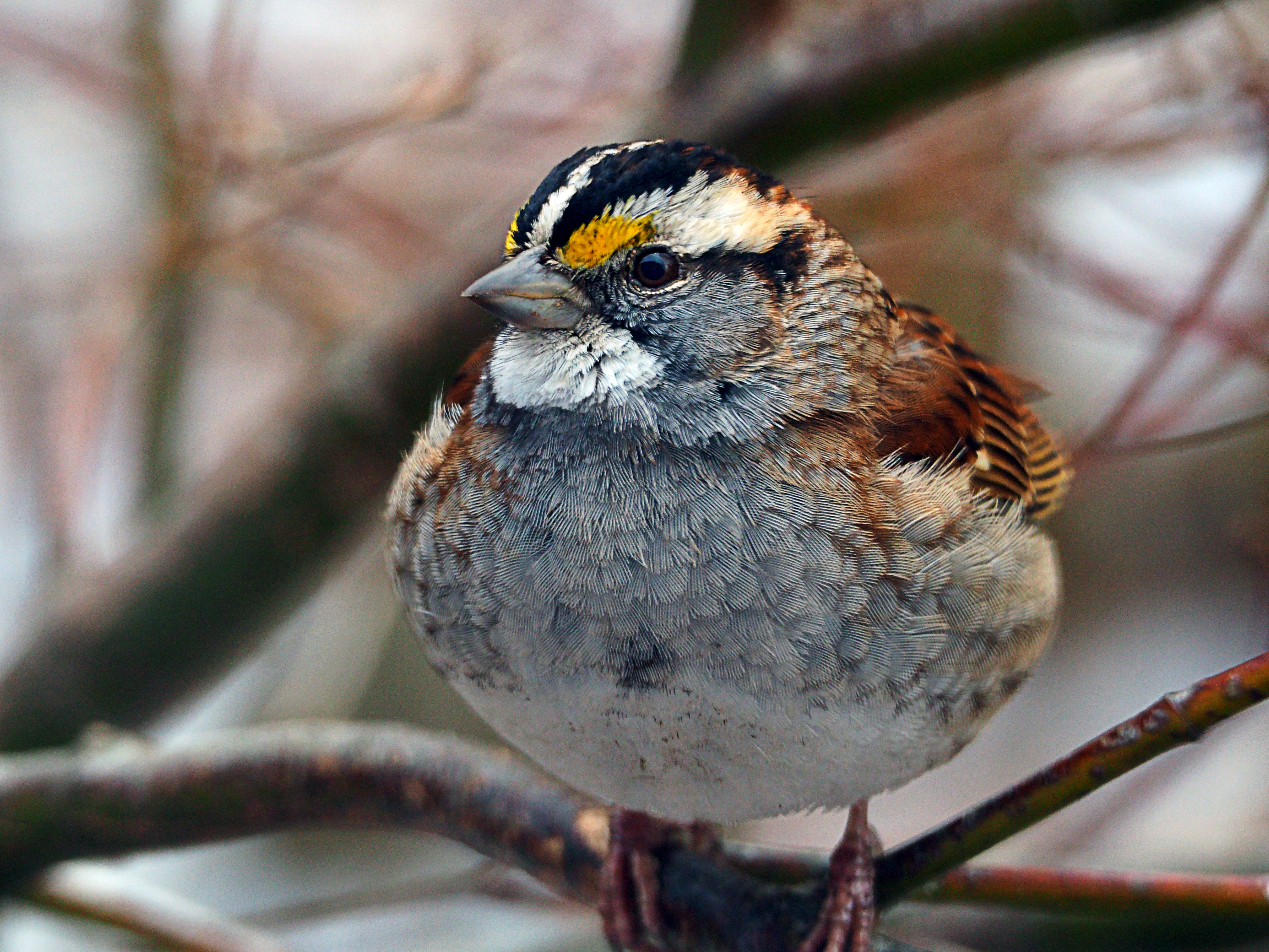 White-throated sparrow.