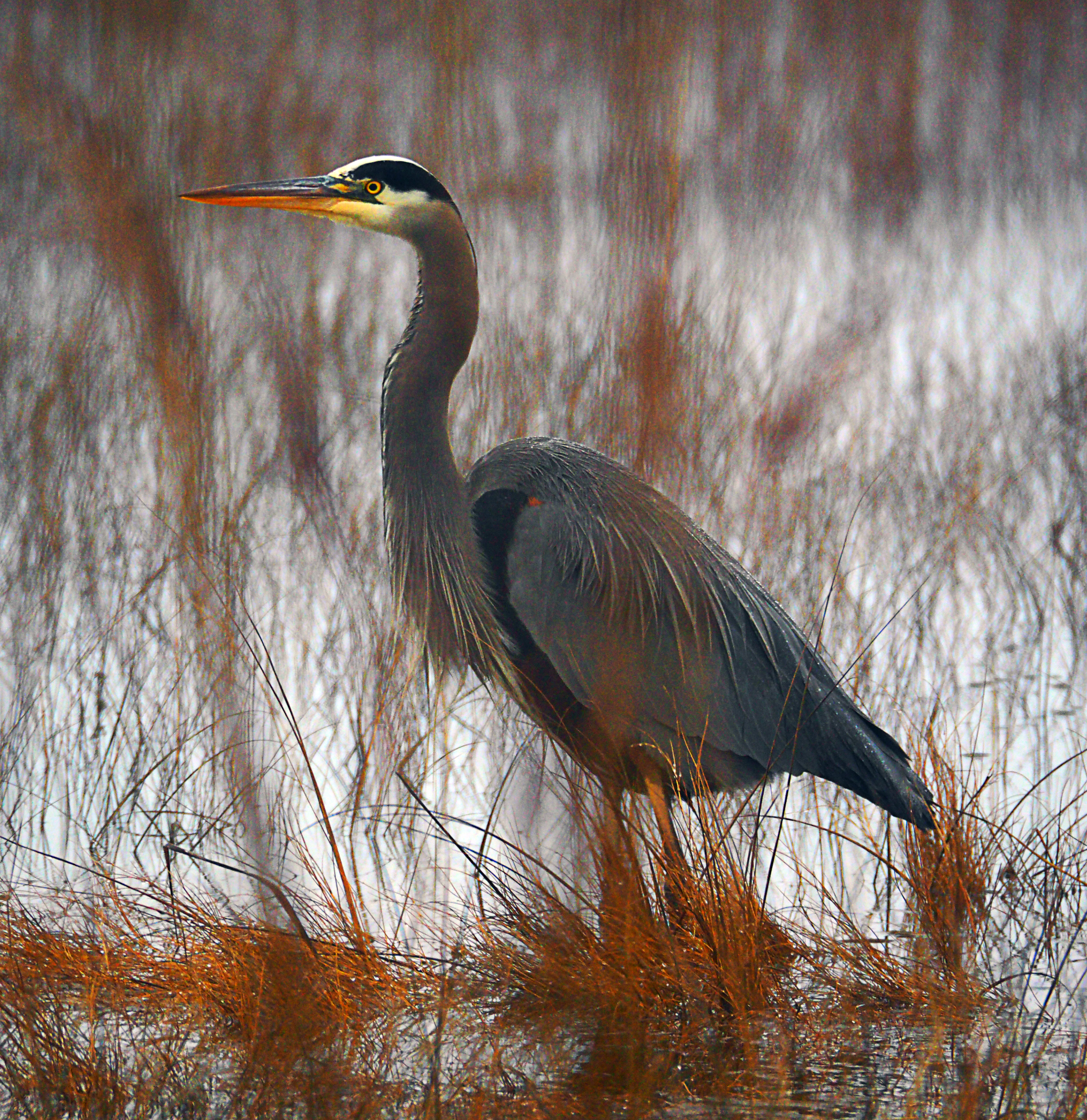 Great blue heron, fishing