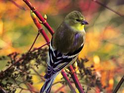Male goldfinch.