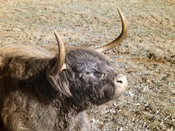Highland bull sunbathing