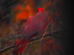 Male cardinal preening