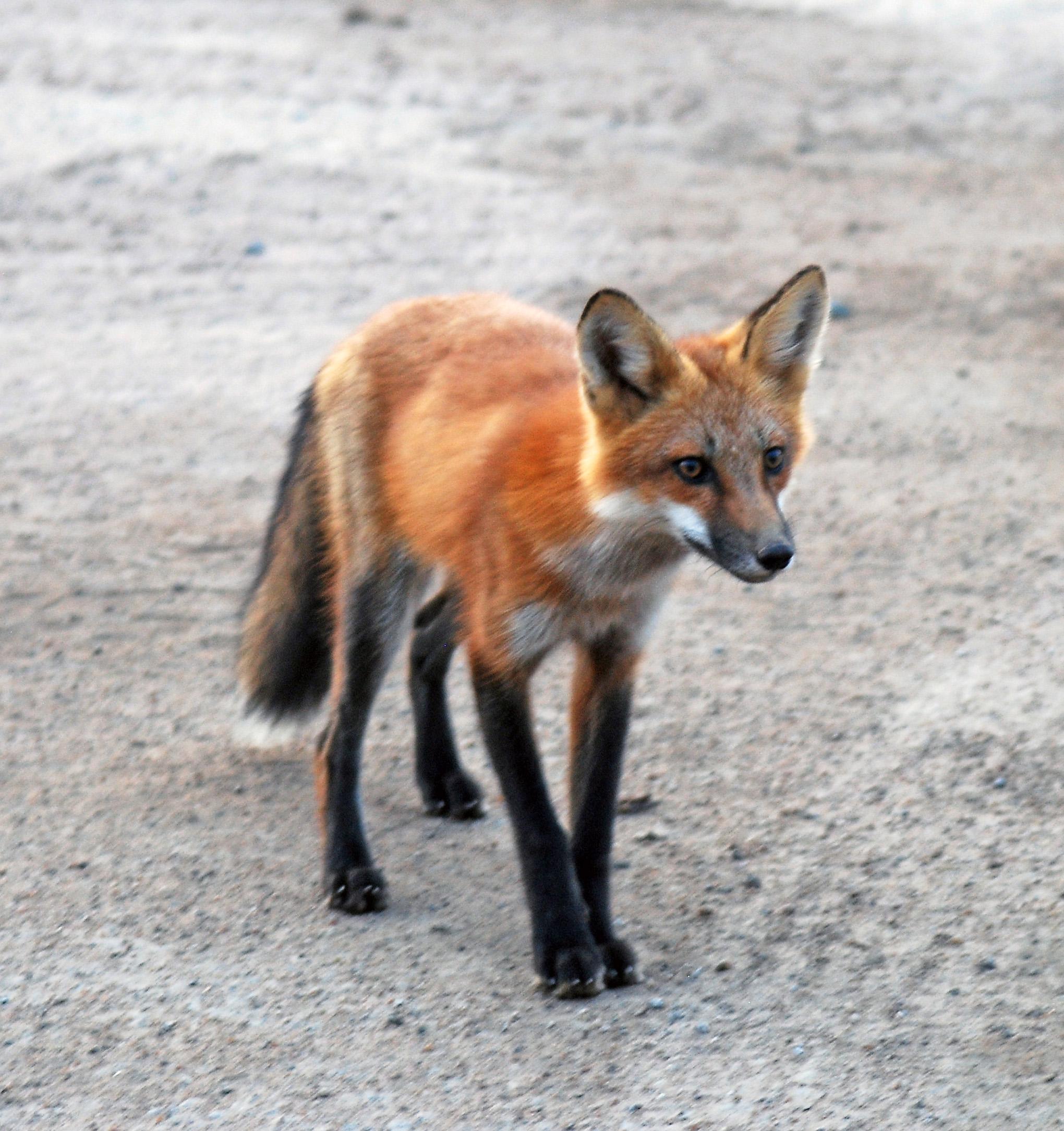 Young red fox in a junkyard