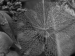 Winter hydrangea.