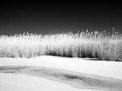Ice and phragmites, North Fork.
