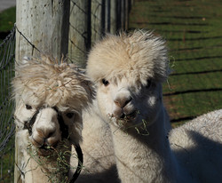 Winery alpacas