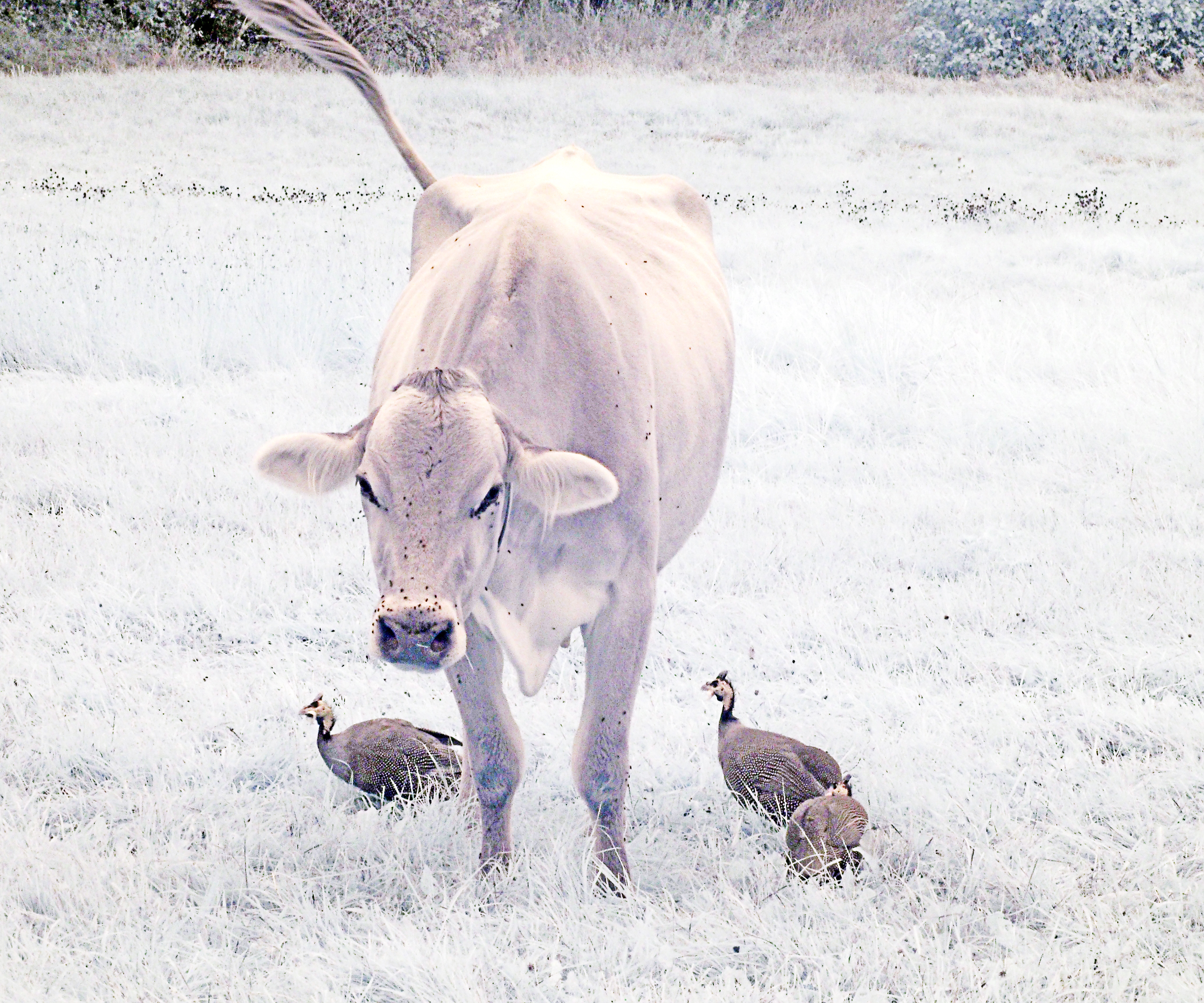 Heifer with guinea hens