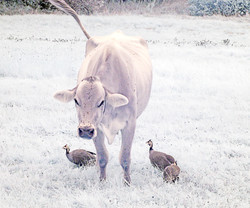 Heifer with guinea hens