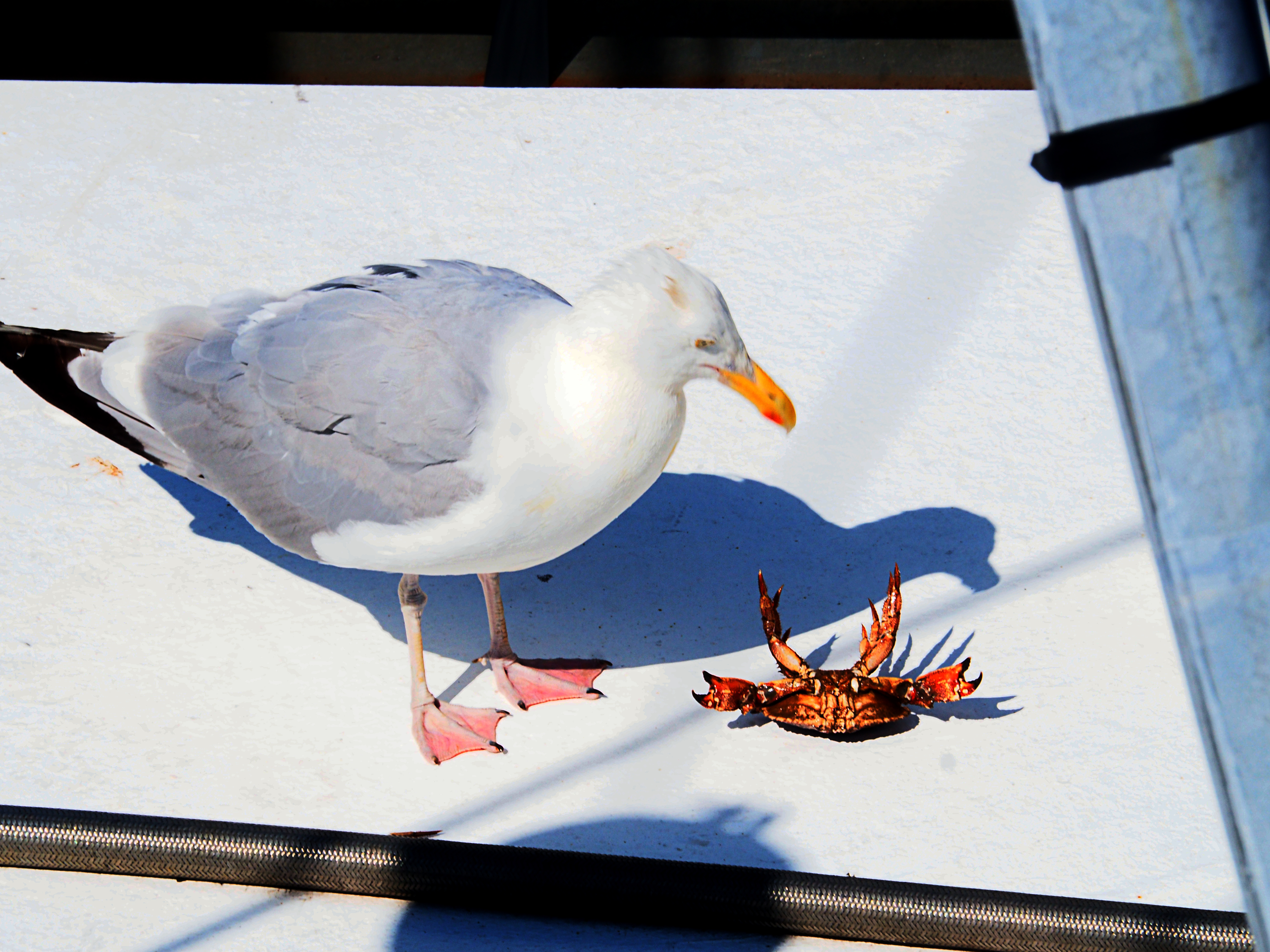 Herring gull with lunch