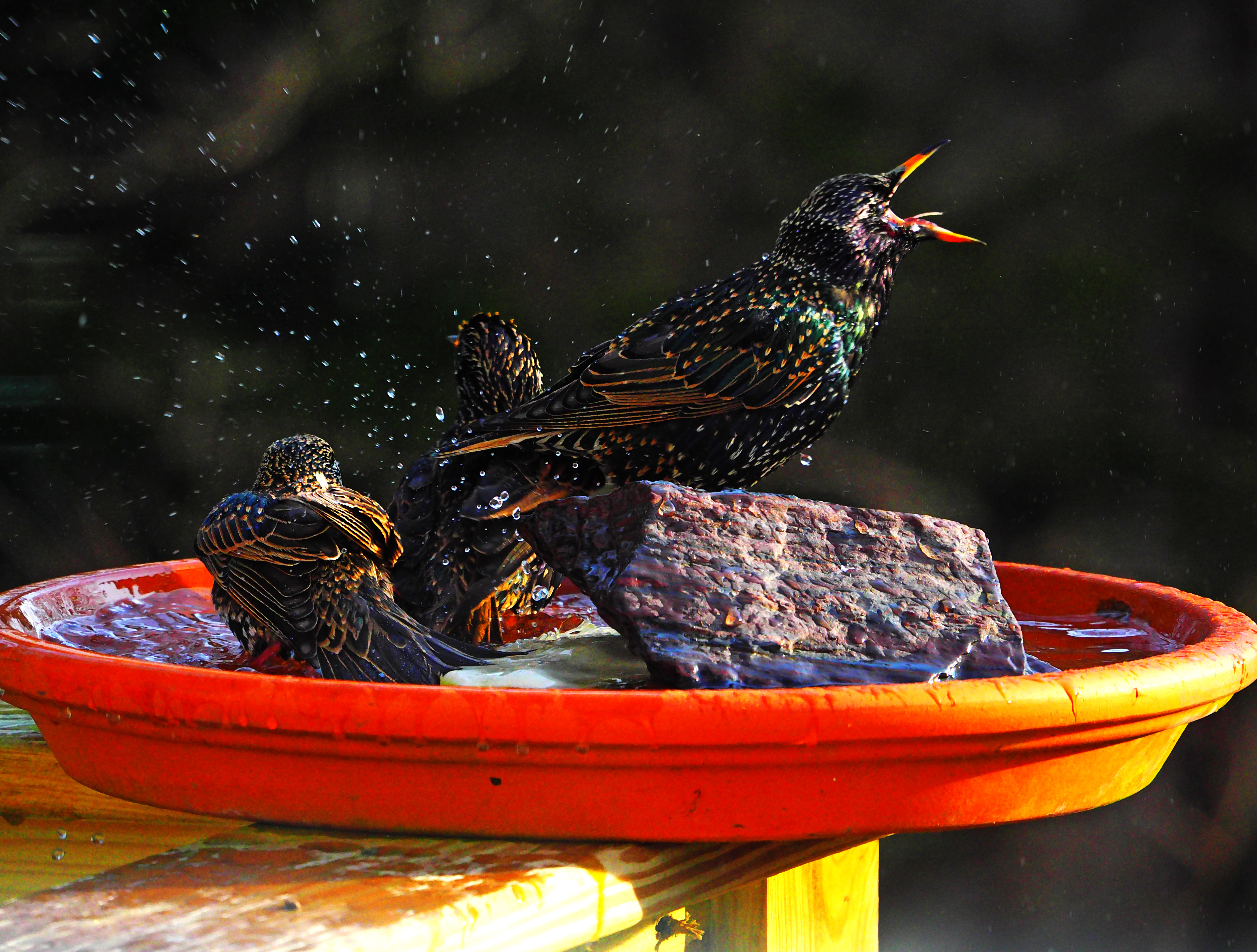 Rowdy European starlings