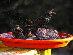 Rowdy European starlings