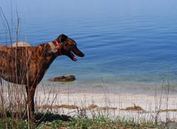 LI Sound greyhound