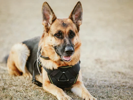 How To Adopt a Military Working Dog