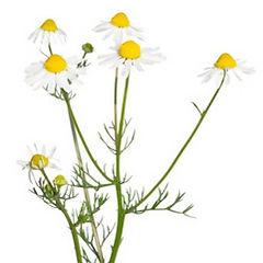 Chamomile-extract-plant.jpg