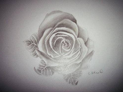 Graphite of a Rose