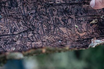 Baumrinde mit Borkenkäferfraß