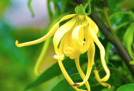 Highlighting Ylang-Ylang
