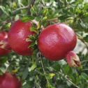Pomegranate_edited.jpg