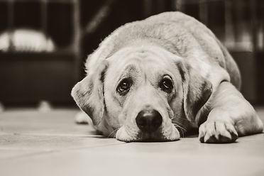Le chien dépressif