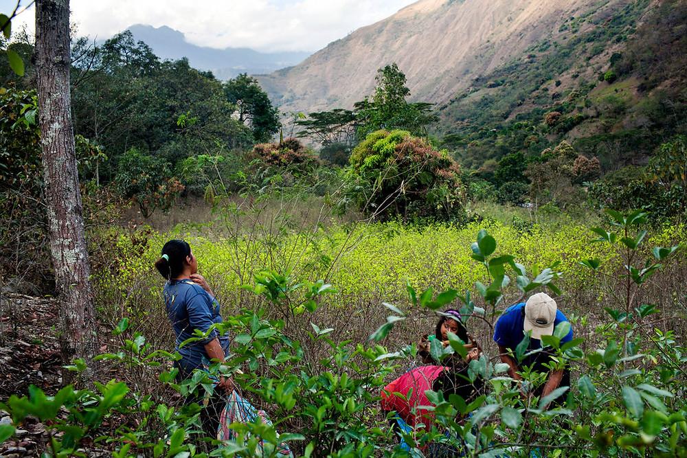 Una familia cosechando hojas de coca en el pueblo de Santa Rosa, Perú, el 28 de julio de 2012 Credit Carlos Villalón