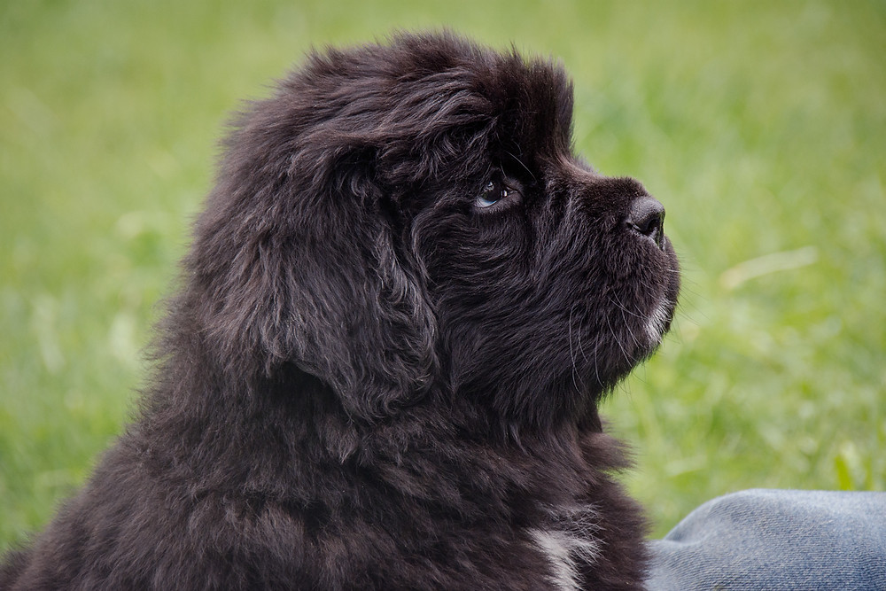Newfoundland Puppy, green girl, Shiny