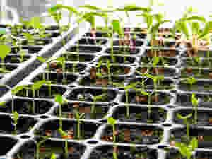 pepperseedlings.jpg