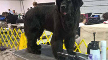 Oakville Kennel Club show 2017